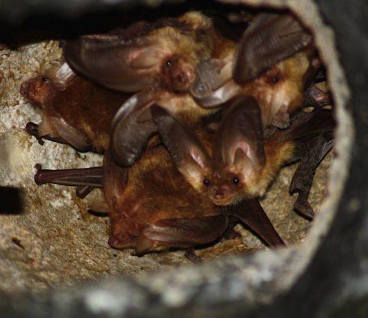 Das Braune Langohr ist eine der im Biosphärenreservat heimischen Fledermausarten (Foto: Wolfram Blug)