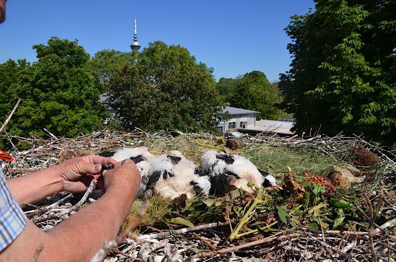Beringung der Störche (Foto: Stadtpark Mannheim)