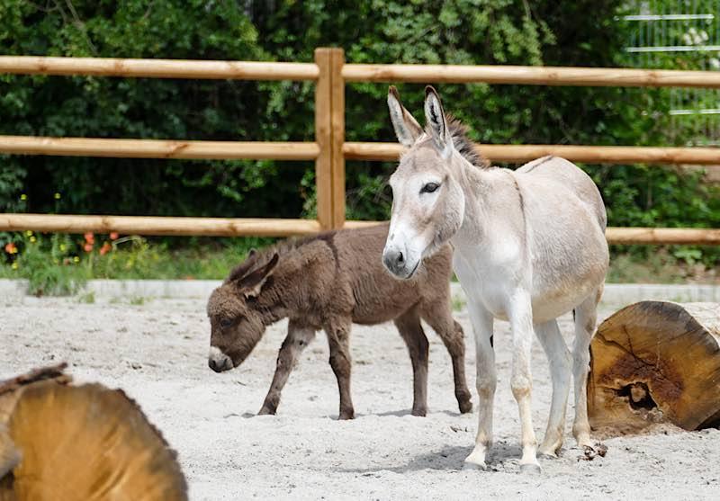 Auch der jüngste Esel-Nachwuchs im Zoo Heidelberg ist in den Bauernhof umgezogen. (Foto: Heidrun Knigge/Zoo Heidelberg)