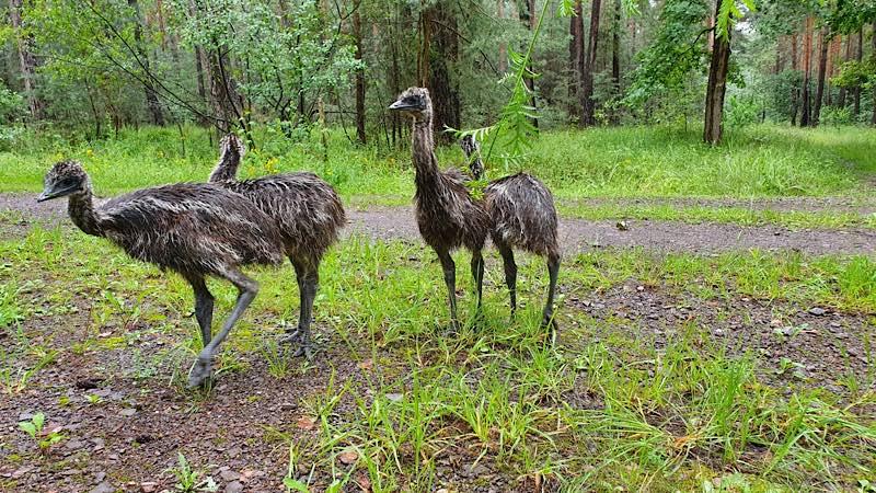 Die vier Emus (Foto: Polizei RLP)