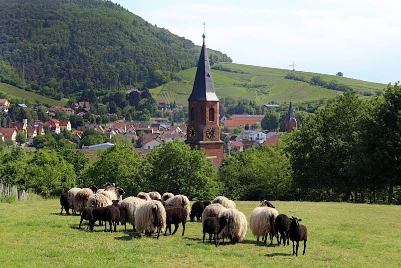 """Beweidung trägt zur Erhaltung der Artenvielfalt und der abwechslungsreichen Kulturlandschaft im Pfälzerwald bei und wird durch das """"Hirtenwege""""-Projekt gefördert, hier Schafe bei Albersweiler (Foto: Biosphärenreservat/Norman Krauß)"""