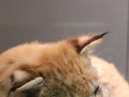 Schlafender Luchsnachwuchs (Foto: Pfalzmuseum für Naturkunde)