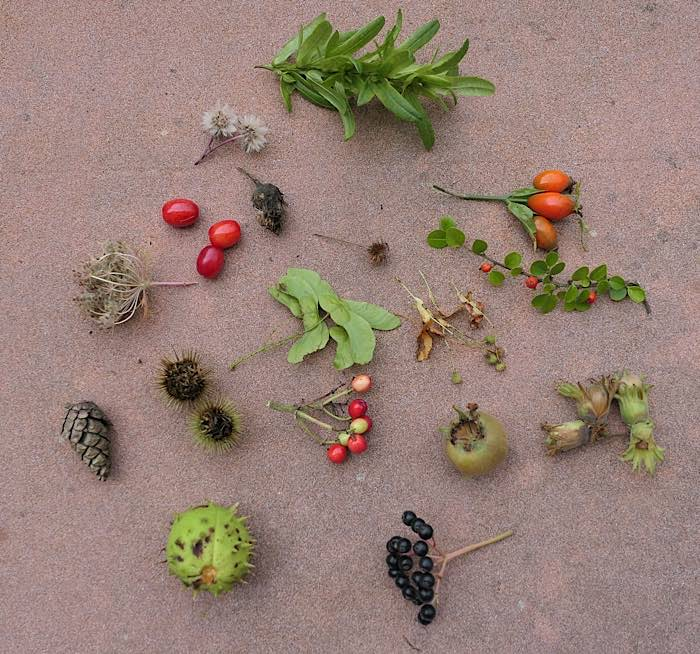 Herbstfrüchte (Foto: Pfalzmuseum für Naturkunde)