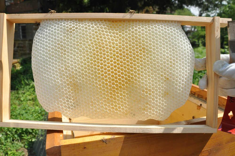 Von Bienen gebaute Wabe (Foto: Pfalzmuseum für Naturkunde)