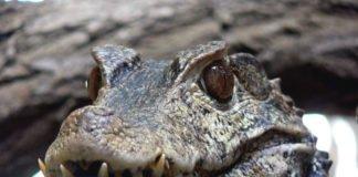 """Das Krokodil ist das aktuelle """"Zootier des Jahres""""; im Zoo Landau leben Brauen-Glattstirnkaimane. (Foto: Zoo Landau)"""